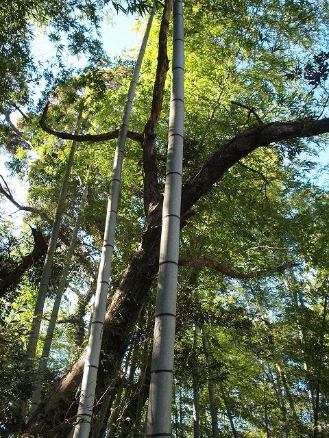 500竹はまっすぐに伸びるのか1
