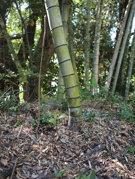 500竹はまっすぐに伸びるのか2