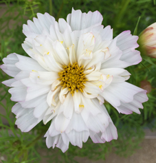 変わり咲きコスモスの白