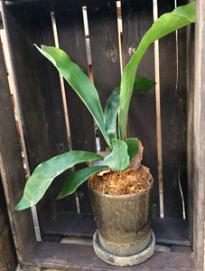 ヴィフポット観葉植物