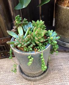 ヴィフポット多肉植物
