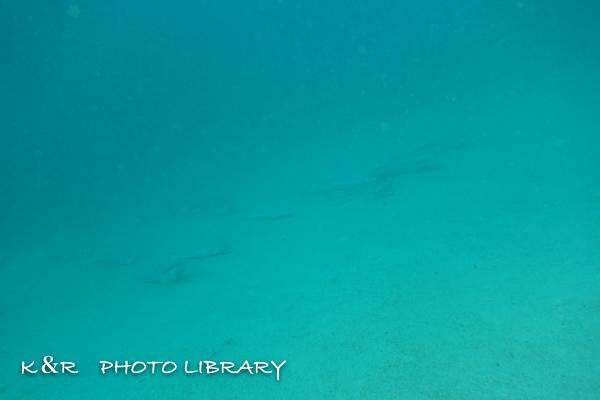 2016年11月4日奄美大島・大和浜6コバンザメの群れ