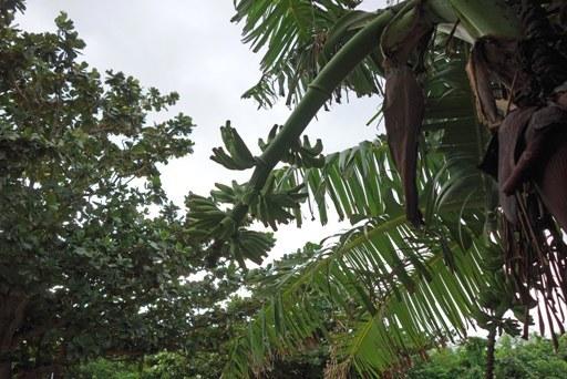 島バナナ花-b DSC06313
