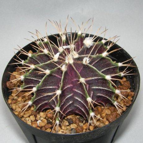 Sany0011--friedrichii--LB 3773--Bercht seed2396(2011)