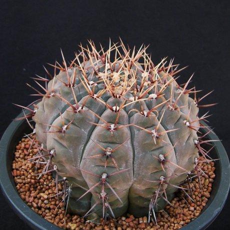 Sany0001--esperanzae--CH 1417--Nueve Esperanzae 519m LR--ex Cactus Hobby
