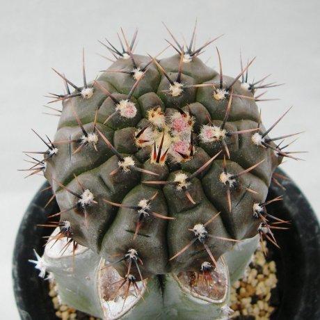 Sany0157--esperanzae--MM 1257 --Bercht seed