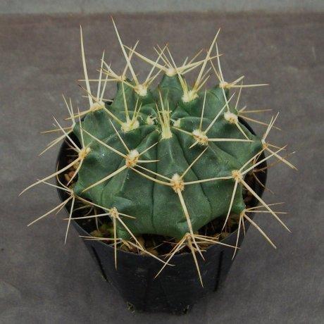 Sany0118--griseopallidum--Chaco Bolivia--Piltz seed 2178