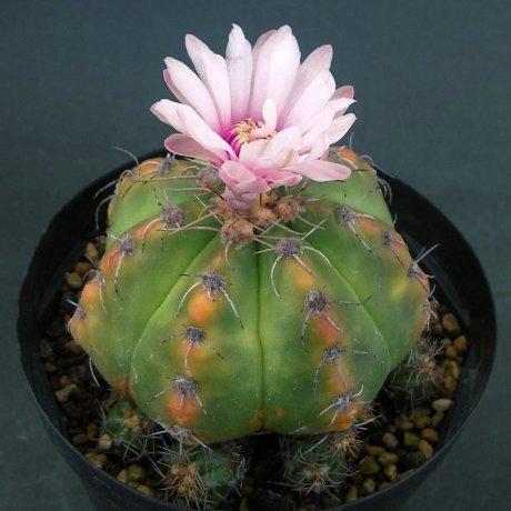Sany0079--fleischerianum--P 411--Oyopoi Paraguay--Mesa seed 464.092