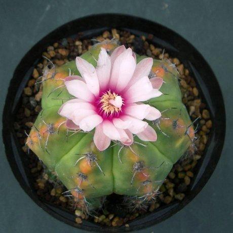 Sany0080a--fleischerianum--p 411--mesa seed