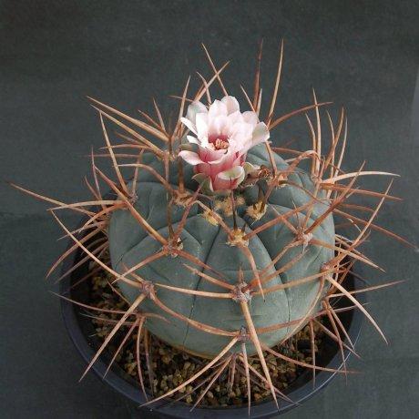 Sany0134--armatum--JO 974.2--Paichu Centro Tarija Bolivia--Bercht seed 2917 (2013)