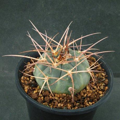 Sany0146--armatum--LB 3466--Paichu Centro--Bercht seed 2357(2014)