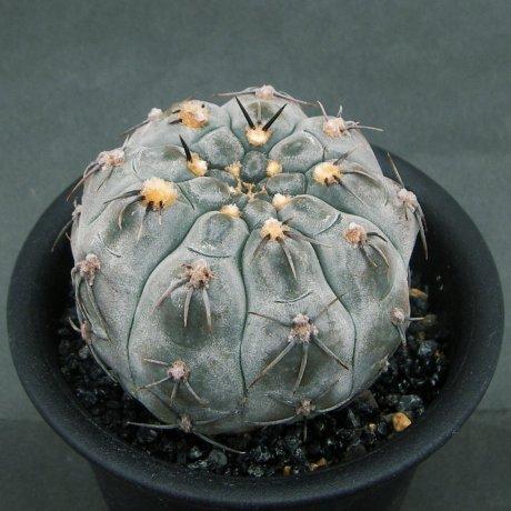 Sany0141--berchtii--VS 161--Chanares, San Luis 800m--Koehres seed--Kousen en