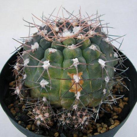 Sany0182--alboareolatum--varieg--LB 1296--Piltz seed 3164