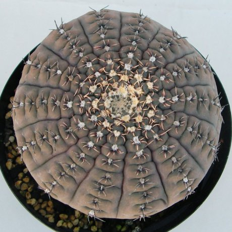 Sany0049--obductum--P 121--piltz seed