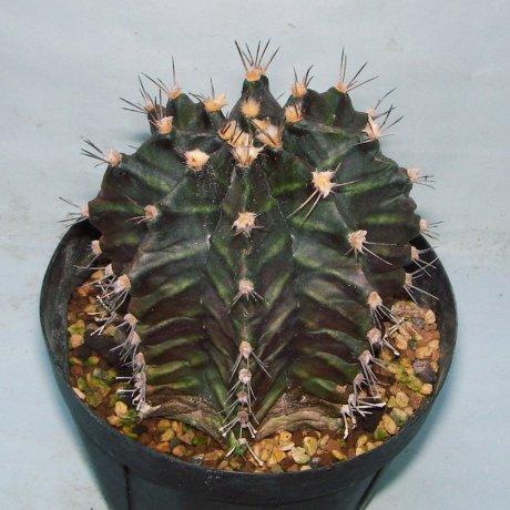 Sany0034--mihanovichii--STO 1224--Mariscal Paraguay--Amerhauser seed--ex Tutiya