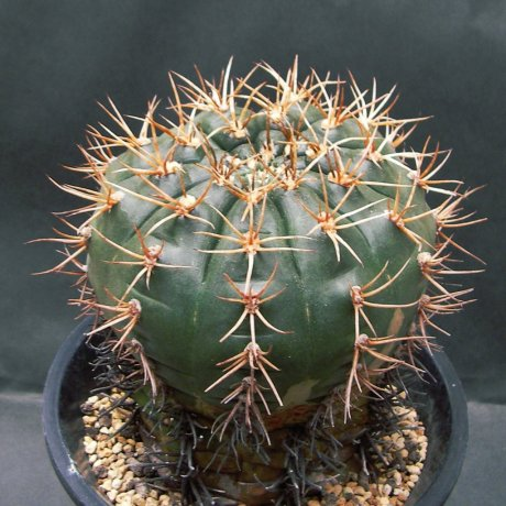 Sany0065--eurypleurum--de Herdt seed--ex Houmei en (1997)