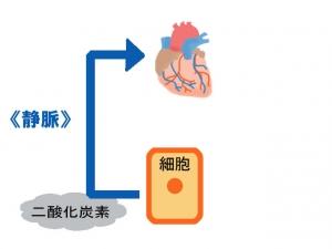 心臓(静脈)