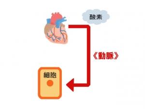 心臓(動脈)