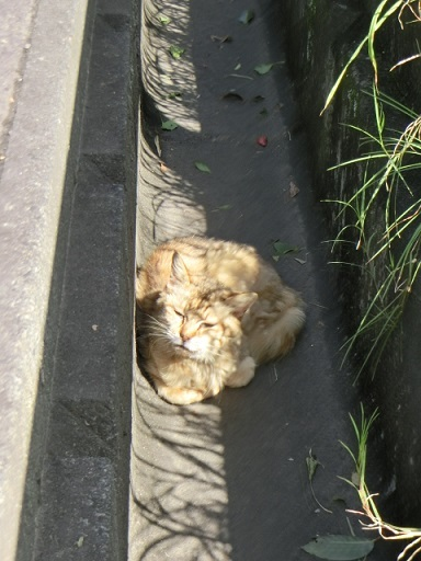 側溝でくつろいでいた猫さん。雄ってわかりやすい顔をしてるね。