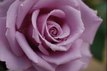 薔薇パープル