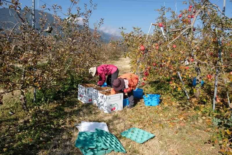 2017112004リンゴ狩り