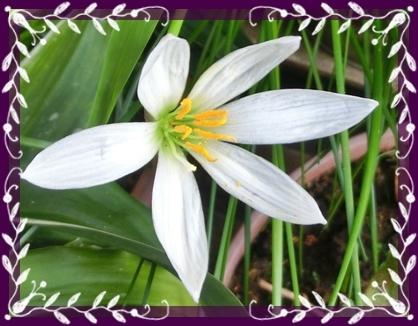 秋我が家白い花1