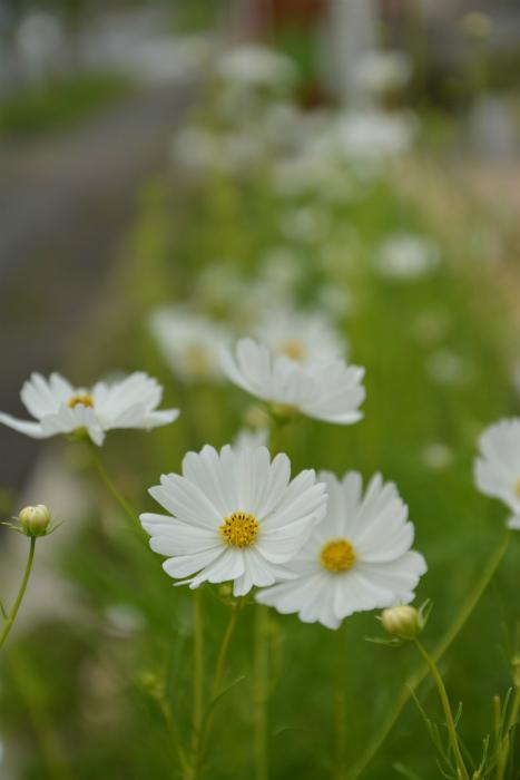ブログ白コスモス3