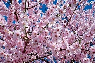 「手術翌日の集中治療室」満開の桜を見ながら語った主治医の言葉