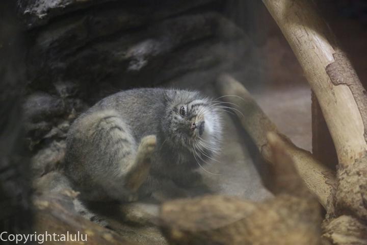 マヌルネコ 動物写真