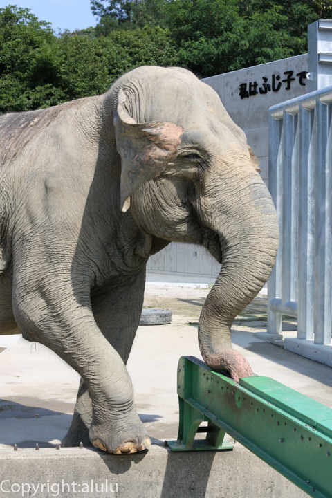 岡崎市東公園動物園 セイロンゾウ 動物写真