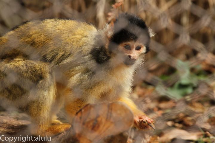 姫路市立動物園 ボリビアリスザル 画像