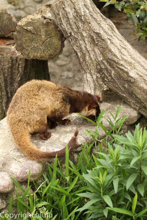 東山動物園 ハクビシン 画像