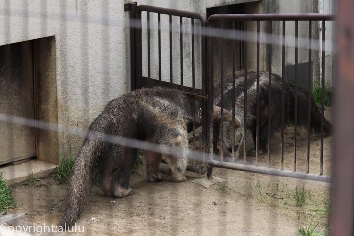 王子動物園 オオアリクイ 画像