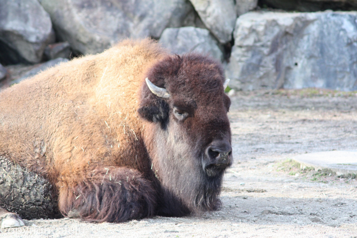盛岡市動物公園 アメリカバイソン 画像