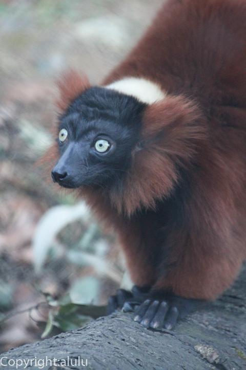 アカエリマキキツネザル 動物写真