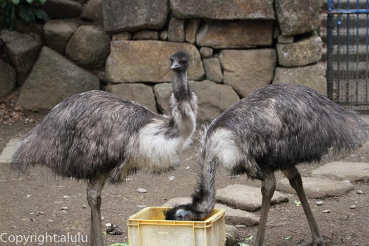 千葉市動物公園 エミュー