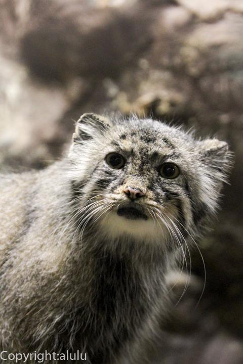 上野動物園 マヌルネコ 画像