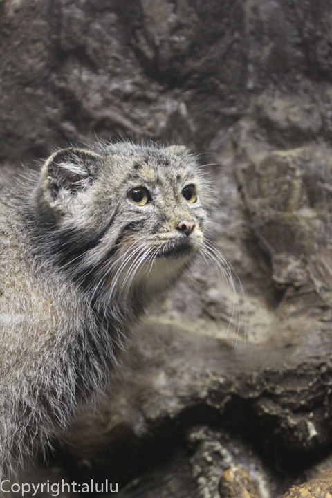上野動物園 マヌルネコ